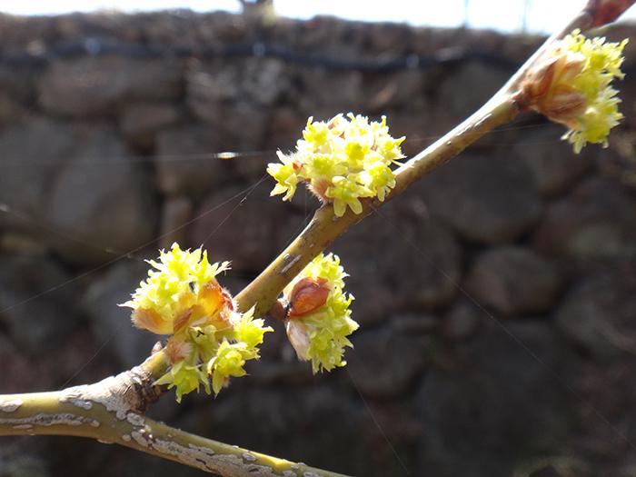 ダンコウバイが咲きました