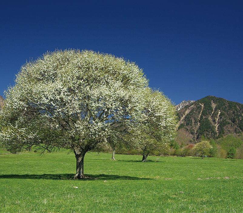 ヤマナシの花を見る!季節のガイドウォーク