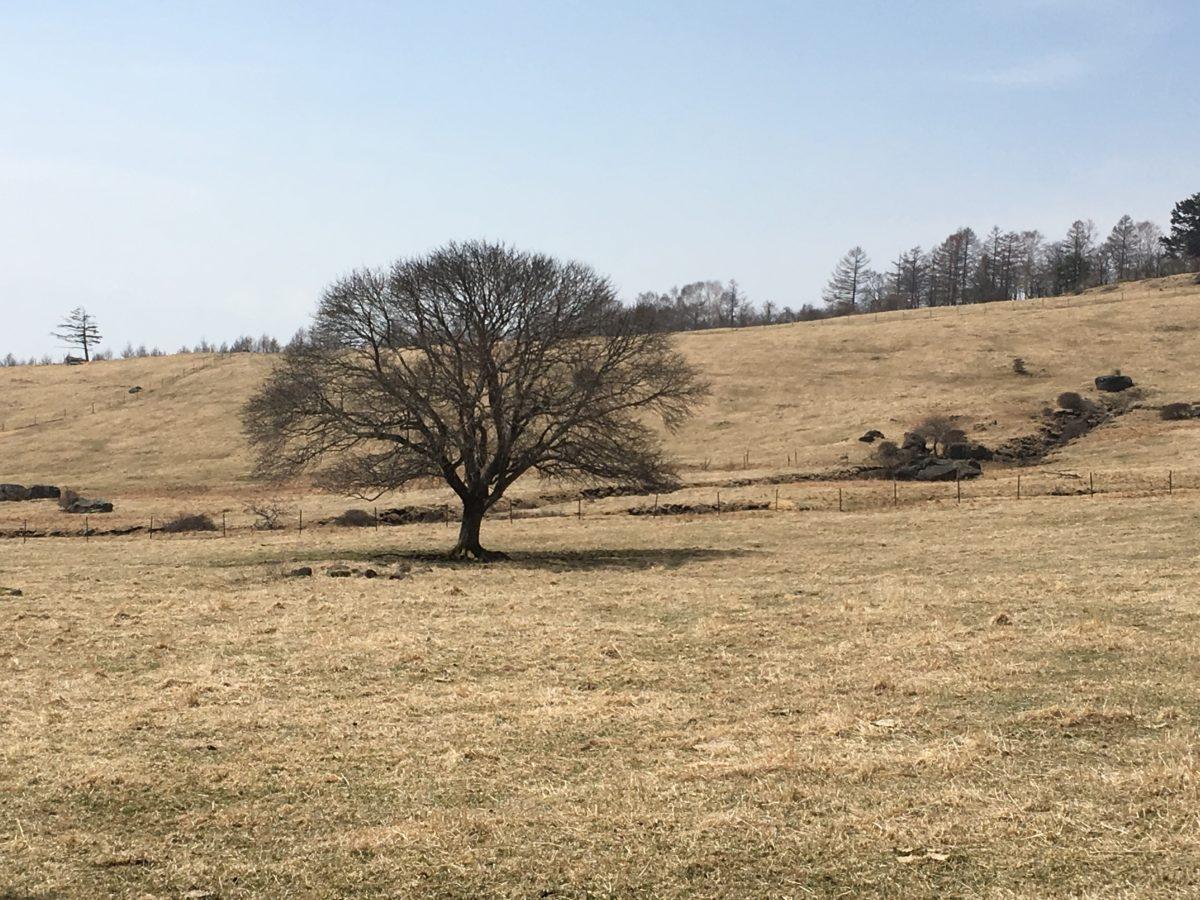 早春のヤマナシの木